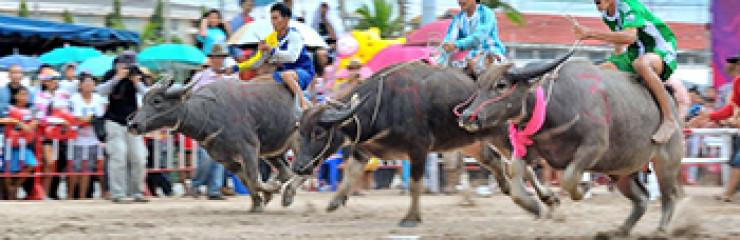 The annual Chonburi Buffalo Racing Festival – 28 September – 4 October 2017