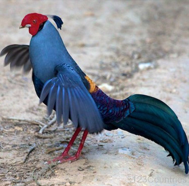 Siamese Fireback – National Bird of Thailand