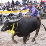 Buffalo Racing at Chonburi area - 23 October 2018