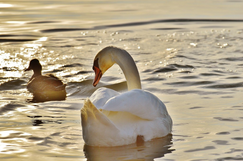 swan-1114270_1920